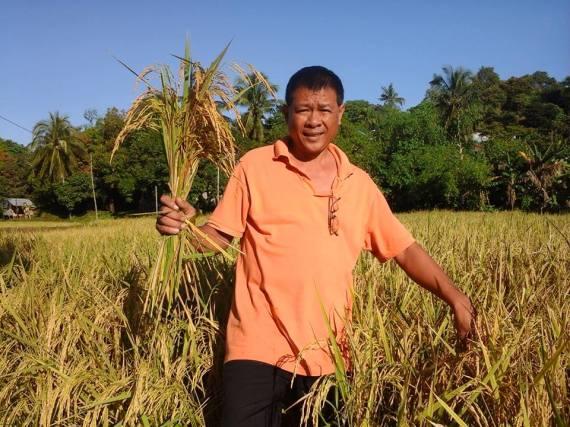 Rice Harvest  3
